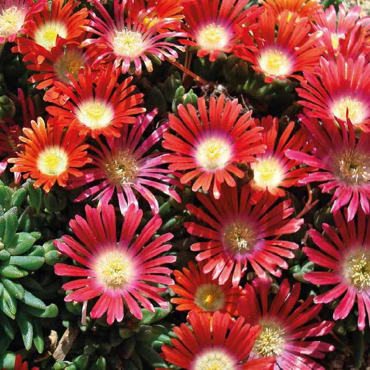 Delosperma dyeri red mountain rouge – Pot de 9 cm x 9 cm BOTANIC Prix 3.10 €