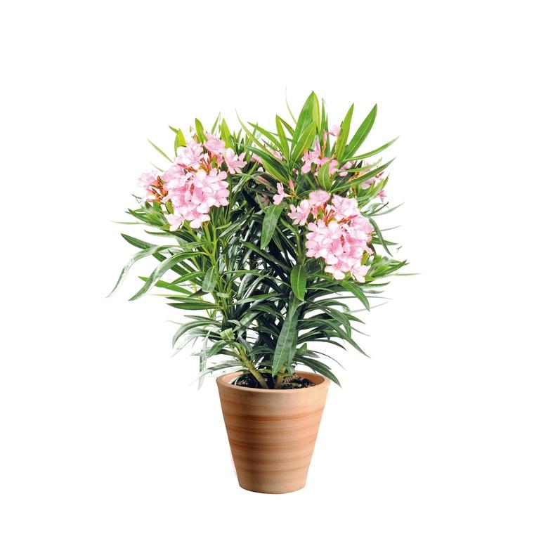 Laurier rose Nerium Oleander bicolore 75 85 cm BOTANIC Prix 24.50 €