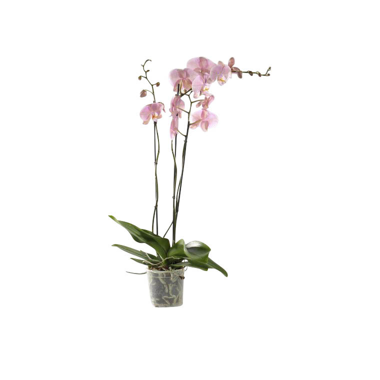Phalaenopsis collection rose clair 2 br. Pot 12 cm BOTANIC Prix 17.95 €